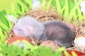 Furetto bambino nel nido di fieno — Foto Stock