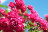 ピンクのバラは庭 — ストック写真