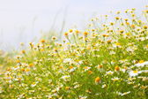 Spring Meadow with Daisies — Stock Photo