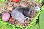 干し草の巣でフェレット赤ちゃん — ストック写真