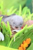 Ferret baby in the nest of hay — Stock fotografie
