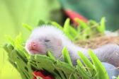 雪貂宝宝窝里的干草 — 图库照片