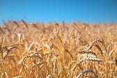 Wheat field and blue sky — Stockfoto