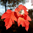 Three autumn leaves — Stock Photo