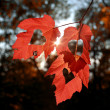 Three autumn leaves — Stock Photo #33371649