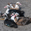 Muscovy duck — Stock Photo #33371787