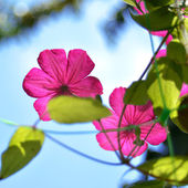 Purple clematis — Stock Photo