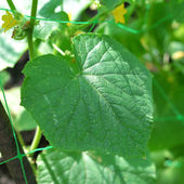 Flowering cucumber — Stock Photo