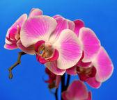 Purple orchid — Stock Photo