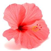 Pink hibiscus — Stock Photo