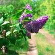 Blossoming lilacs — Stock Photo #33492959