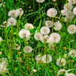 Dandelions — Stock Photo #33493003