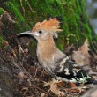 Stock Photo: Hoopoe