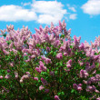 Blossoming lilacs — Stock Photo #33494123