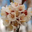 Blossoming apricot — Stock Photo