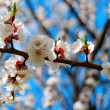 Blossoming apricot — Stock Photo #33494689