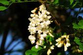 Acacia — Stock Photo