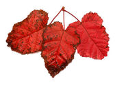 Three red leaf — Stock Photo