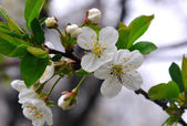 Blossoming — Stock Photo