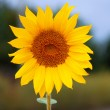 Sunflower in the field — Stock Photo #34373993