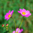 Pink daisies — Stock Photo