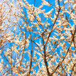 Stockfoto: Blooming tree