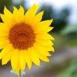 Sunflower in the field — Stock Photo #34375395