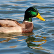 Wild duck in the river — Stock Photo