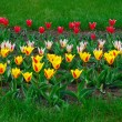 Colorful tulips — Stock fotografie