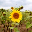 Sunflower in the field — Stock Photo #34375627
