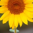 Sunflower in the field — Stock Photo #34375813
