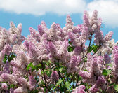 Blossoming lilacs on the blue sky — Stock Photo