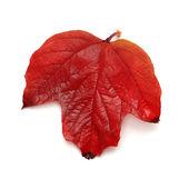 Red leaf viburnum — Stock Photo