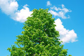 Blossoming chestnut against the blue sky — Stock Photo