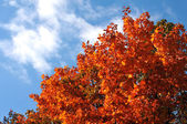 Maple leaves on the blue sky — Stock Photo