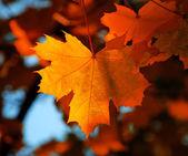 Maple leaf — Zdjęcie stockowe