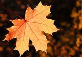 Maple leaf — Stock Photo