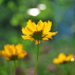 Yellow daisies — Stock Photo #34746679