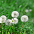 Dandelions — Stock Photo #34747021