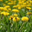 Dandelions — Stock Photo #34747781