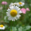 White daisy — Stock Photo #34748485