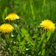 Yellow dandelions — Stock Photo #34749997