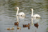 Two swans and ducks in the pond — Stock Photo