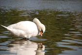 Swan in a lake — Stock Photo