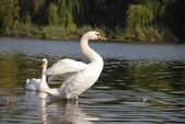 Two swans — Stock Photo