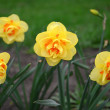 Stock Photo: Yellow narcissus