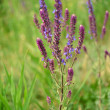 Prairie grass — Stock Photo