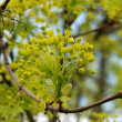 Maple blossoms — Stock Photo
