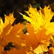 Yellow maple — Stock Photo