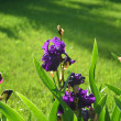 Purple irises — Stock Photo